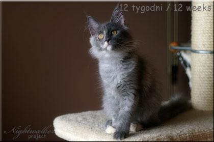 Kotka Emi rasy Maine Coon z hodowli kotów rasowych Nightwalker*PL