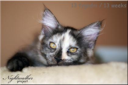 kotka Maine Coon Fibi z hodowli kotów Nightwalker z Gniezna