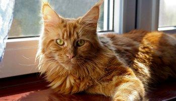 Fiona - kotka rasy maine Coon