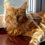 kotka Maine Coon-Fiona