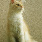 kot Maine Coon