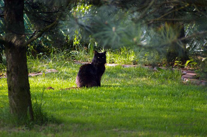 Indi Agattino*PL w hodowli kotów rasy Maine coon