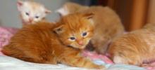 Kocięta Maine Coon - hodowla kotów rasowych Nightwalker