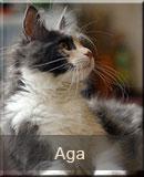 kotka Maine Coon Aga z hodowli kotów rasowych Nightwalker*PL z Gniezna