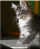 kot Maine Coon Ali z hodowli kotów rasowych Nightwalker z Gniezna