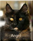 kotka Maine Coon Angel z hodowli kotów rasowych Nightwalker z Gniezna