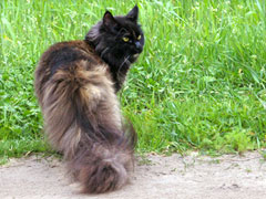 angel-maine-coon