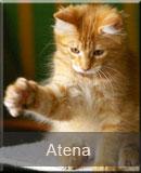 kotka Maine Coon Atena z hodowli kotów rasowych Nightwalker z Gniezna