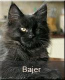 kot Maine Coon Bajer z hodowli kotów rasowych Nightwalker z Gniezna