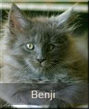 kot Maine Coon Benji z hodowli kotów rasowych Nightwalker z Gniezna