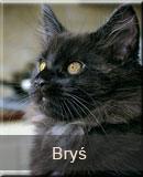 kot Maine Coon Bryś z hodowli kotów rasowych Nightwalker z Gniezna