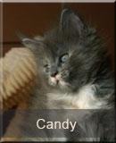 kotka Maine Coon Candy z hodowli kotów rasowych Nightwalker*PL z Gniezna
