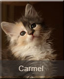 kotka Maine Coon Carmel z hodowli kotów rasowych Nightwalker z Gniezna