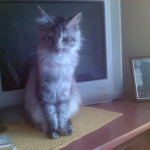 Chanel Nightwalker *PL - kotka Maine Coon