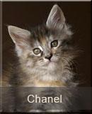 kotka Maine Coon Chanel z hodowli kotów rasowych Nightwalker z Gniezna