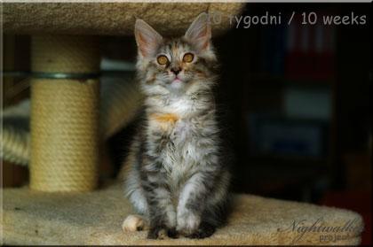 Chanel Maine Coon - kotka z hodowli kotów rasowych Nightwalker*PL