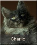 kot Maine Coon Charlie z hodowli kotów rasowych Nightwalker z Gniezna