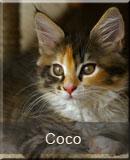 kotka Maine Coon Coco z hodowli kotów rasowych Nightwalker z Gniezna