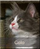 kot Maine Coon Colo z hodowli kotów rasowych Nightwalker*PL z Gniezna