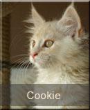 kotka Maine Coon Cookie z hodowli kotów rasowych Nightwalker z Gniezna
