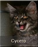 kot Maine Coon Cycero z hodowli kotów rasowych Nightwalker z Gniezna