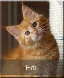 kot Maine Coon Edi z hodowli kotów rasowych Nightwalker z Gniezna