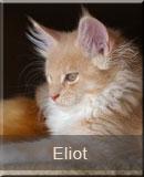 kot Maine Coon Eliot z hodowli kotów rasowych Nightwalker z Gniezna