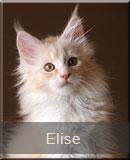 kot Maine Coon Elise z hodowli kotów rasowych Nightwalker z Gniezna