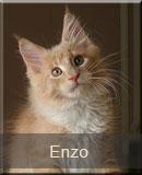kot Maine Coon Enzo z hodowli kotów rasowych Nightwalker z Gniezna