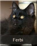 kot Maine Coon Ferbi z hodowli kotów rasowych Nightwalker z Gniezna