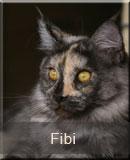 kotka Maine Coon Fibi z hodowli kotów rasowych Nightwalker*PL z Gniezna