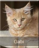 kotka Maine Coon Gabi z hodowli kotów rasowych Nightwalker*PL z Gniezna