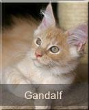 kot Maine Coon Garfield z hodowli kotów rasowych Nightwalker z Gniezna