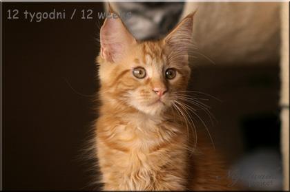 kocurek Maine Coon Garfield z hodowli kotów rasowych Nightwalker*PL z Gniezna