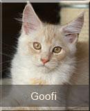 kot Maine Coon Goofi z hodowli kotów rasowych z Gniezna