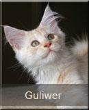 kot Maine Coon Guliwer z hodowli kotów rasowych Nightwalker z Gniezna