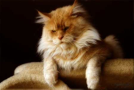 kocur rasy Maine Coon