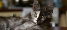 Kocięta Maine Coon z hodowli kotów rasowych Nightwalker