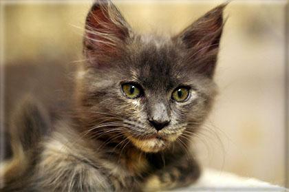 kotka rasy Maine Coon Bessi z hodowli kotów rasowych Nightwalker