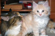 pilobezoary u kotów Maine Coon