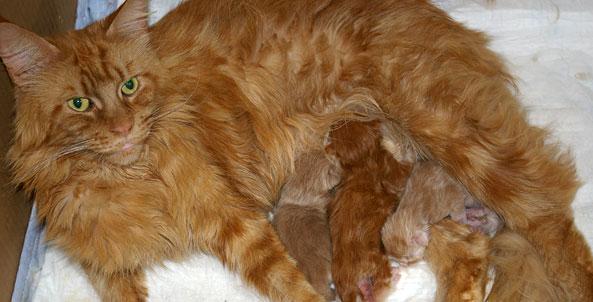 Poród kotki