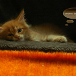 zdjęcia kotów maine coon