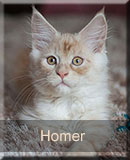 Homer Nightwalker z hodowli w Gnieźnie