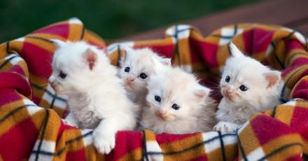 Nowe kocięta Maine Coon