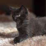 Jumbo z hodowli kotów rasowych Nightwalker