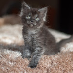 Jinks Nightwalker -kocur Maine Coon