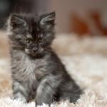 Jerry Nightwalker z hodowli kotów rasowych