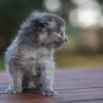 Jula - kotka rasy Maine Coon