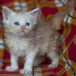 Kira - kotka z hodowli Nightwalker