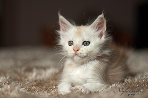 Kira Nightwalker -kotka rasy maine Coon